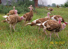 Young Bourbon Red Turkeys